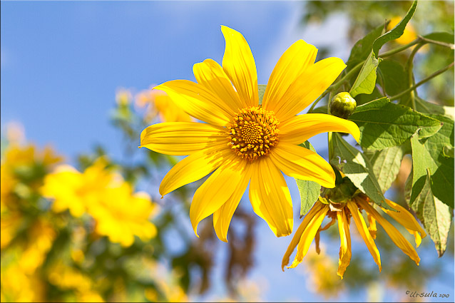 Sun-seeking Mexican sunflowers: Budding, Blooming and Fading
