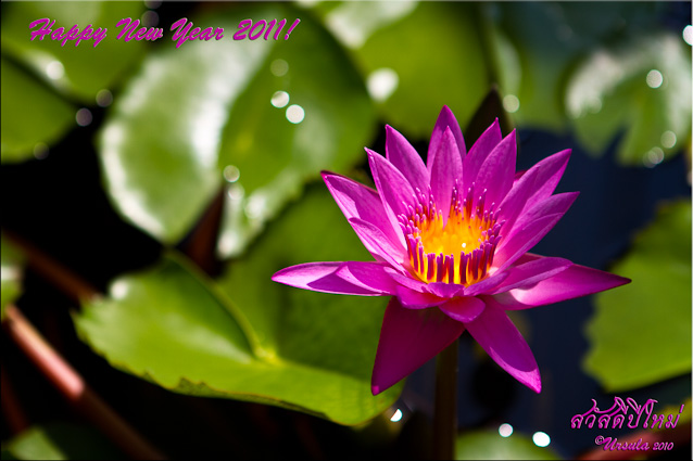 Happy New Year message on pink lotus background