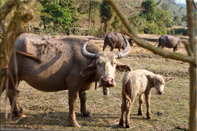 Brown Water Buffalo and Baby