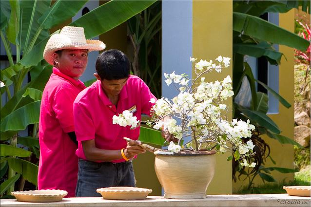Thai males in pink polos; white bougainvillaea