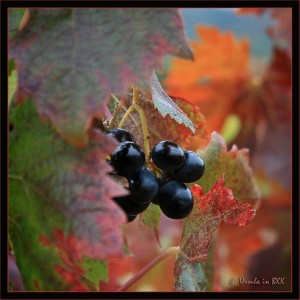 Black grapes in Autumn leaves