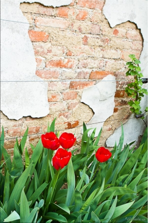 Red Tulips against peeling white paint on a brick wall