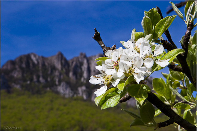 White Apple Blossoms with the rocky face of Pech de Thauze (Pod Bugarach) in the background.
