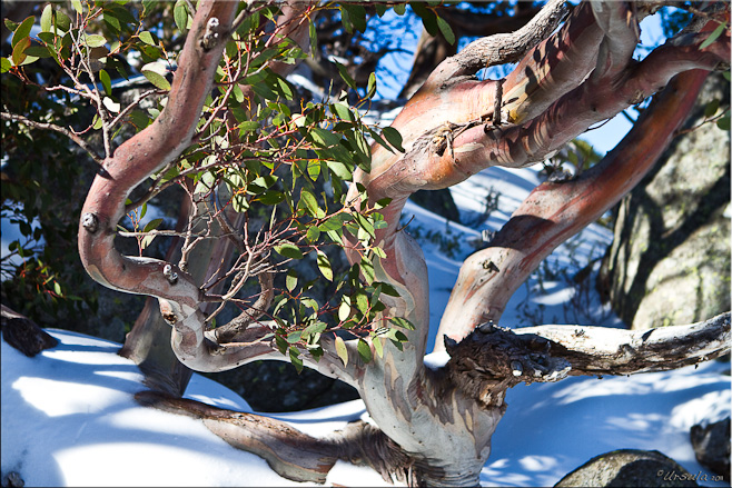 Stem and leaves of a snow gum tree against the snow