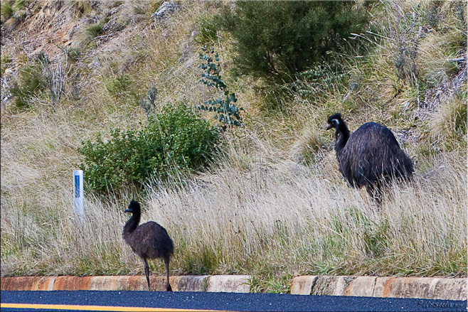 Two emu on the roadside