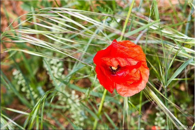 Red poppy on green grass