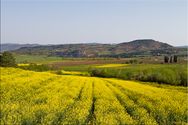 Fields of yellow mustard blossoms, with low mountains in the background.