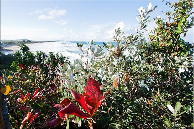 Red and blue-green Banksia (Proteaceae) leaves against a back-drop of white water. Coolum Beach, Qld