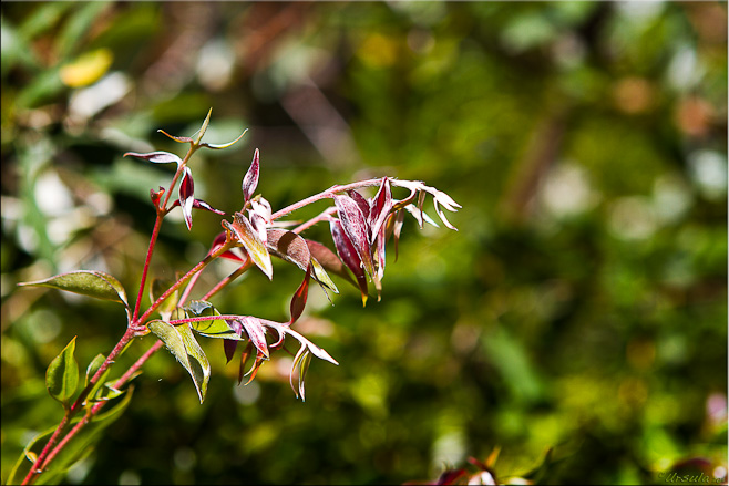 Close-up: Tender new leaves in dark red against a green background