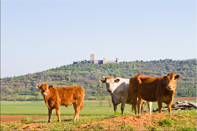 Three cows in the foreground, Puivert Castle on a hill in the background