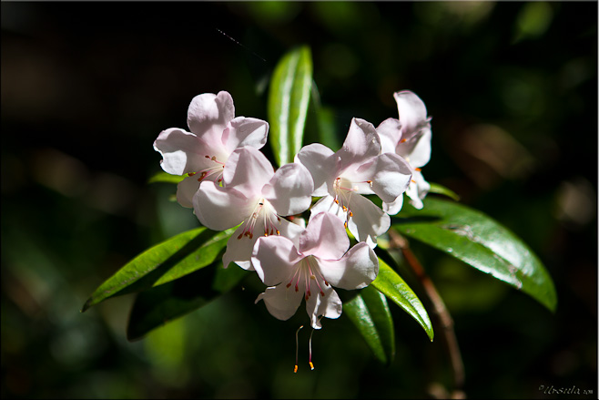 Pale pink and white rhododendron