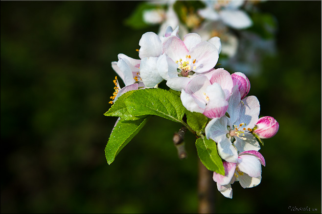Close-up: fresh apple blossom