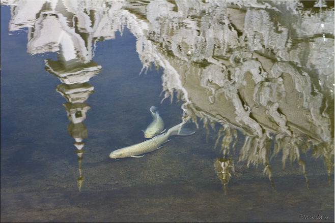 Koi fish in a pond with reflections of Wat Rong Khun in the water.