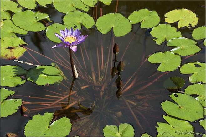 Single purple lotus in a pond, surrounded by green leaves.