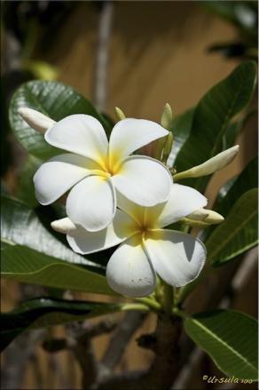 Two cream coloured frangipani (plumeria)