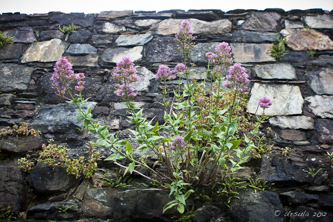 Pink flowering weeds on an old (Viking) brick wall.