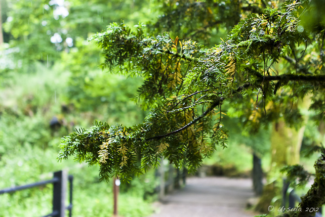 Fir bough, wet with rain, over a pathway.