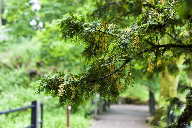 Fir bough, wet with rain, over a pathway.