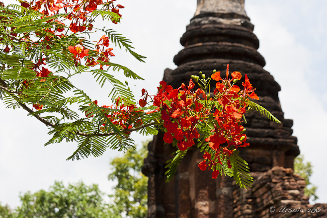 Orange red flame tree blossoms in front of a Sukhothai-era tower ruin.