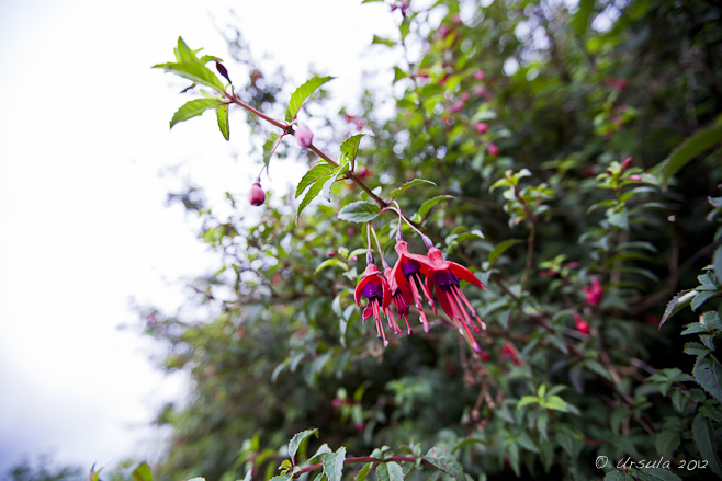 Wild fuchsia hedge against white sky.