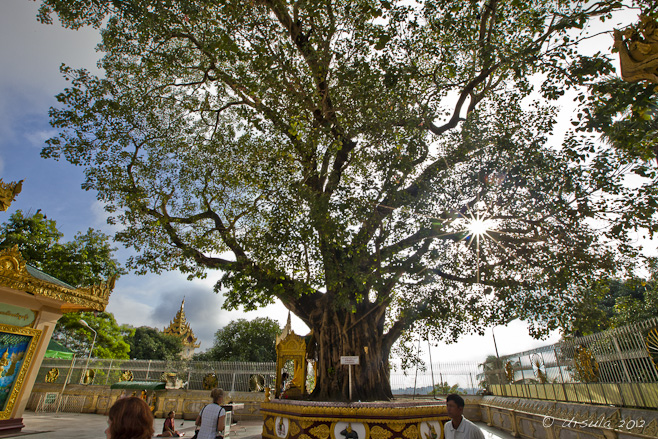 Sun flare through a large Bodhi Tree, Shwedagon.