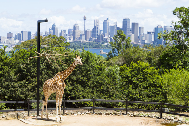 Giraffe at Taronga, overlooking Fort Dennison and downtown Sydney.
