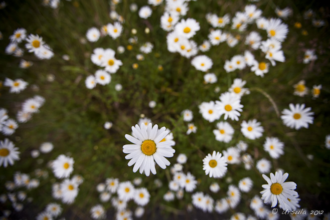 View of white daisies with green foliage, from above.
