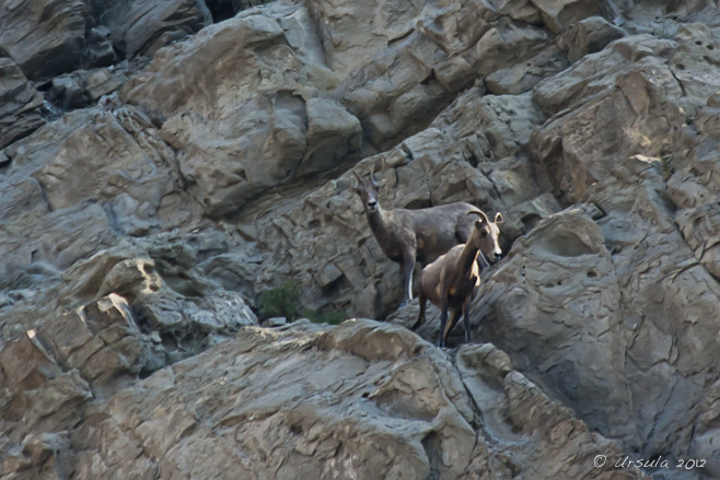 Almost invisible against the rock face, female and young bighorn sheep. Mount Everts, Yellowstone.