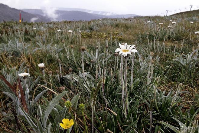 Silver Snow Daisy (Celmisia asteliifolia) on an alpine slope. Mt Hotham, Vic