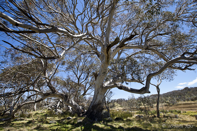 A spreading snow gum against yellow grasses and a blue sky, Rennix Gap.