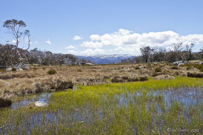 Grasses in a mountain wetland: mountains in the background.