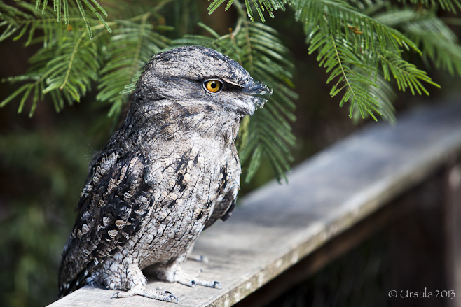 Profile shot of a Tawny Frogmouth (Podargus strigoides) against tree greenery.