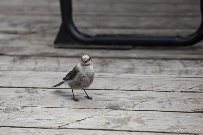 Close up: A Gray Jay/Grey Jay on a wooden deck.