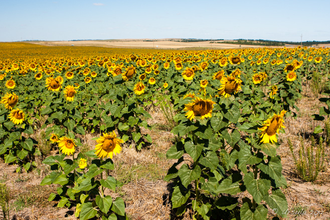 A fiels of sunflowers, South Dakota, USA