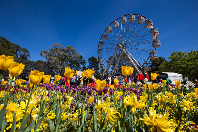 A ferris wheel behind colourful tulips, Floriade, Canberra AU