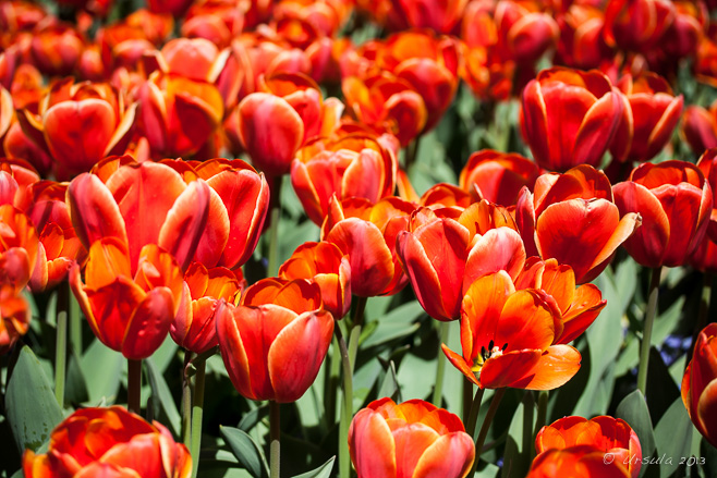 Red Tulips, Floriade, Canberra AU