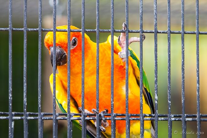 Sun Parakeet (Aratinga solstitialis) in a cage.