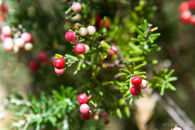 Red berries on an evergreen bush, Bullocks Track, Kosciuszko National Park AU