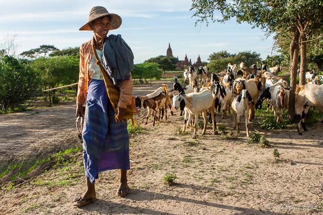 A Burmese woman herding her goats across the plains of Bagan.