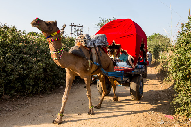 Tourists in a Camel Carriage, Pushkar, Rajasthan