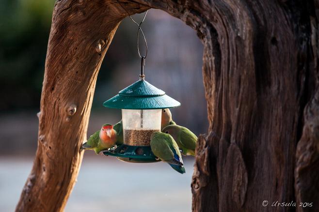 Rosy-Faced Lovebird (Agapornis roseicollis) on a bird feeder, Kamanjab Namibia