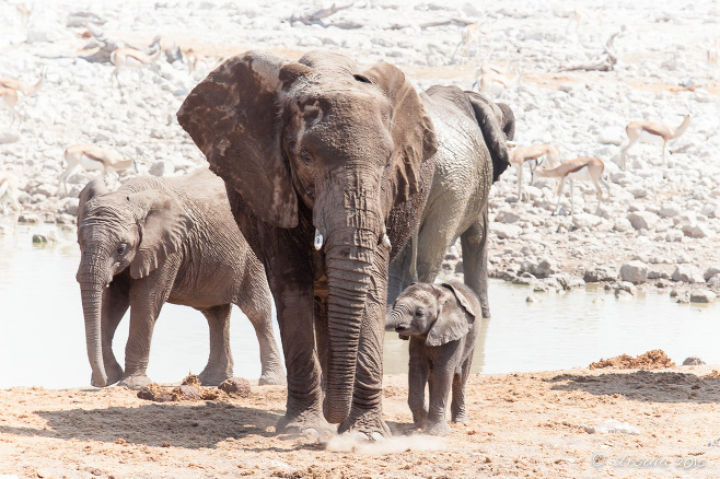 Mother and calf elephant at the waterhole, Etosha National Park, Namibia