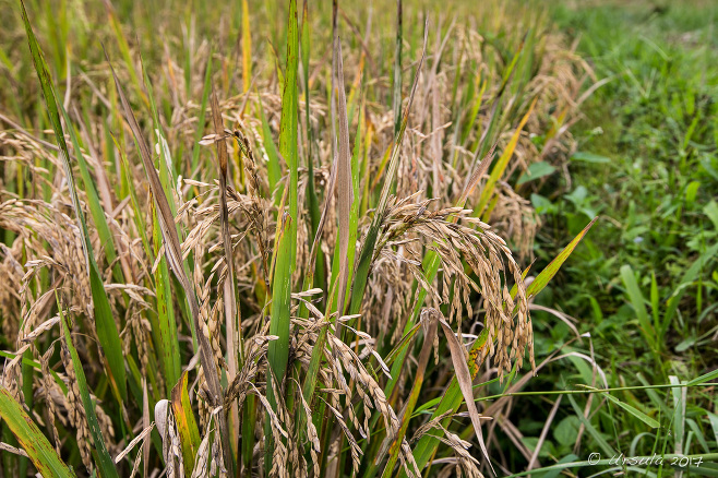Heads of rice, ready for cultivation, Taro, Bali Indonesia