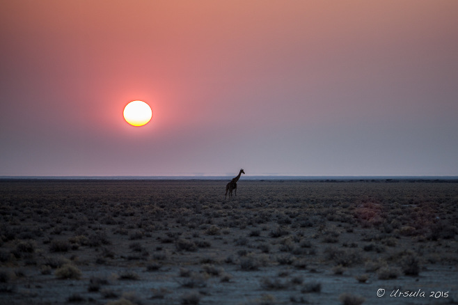 Giraffe silhouetted in the Sunrise, Etosha National Park, Namibia