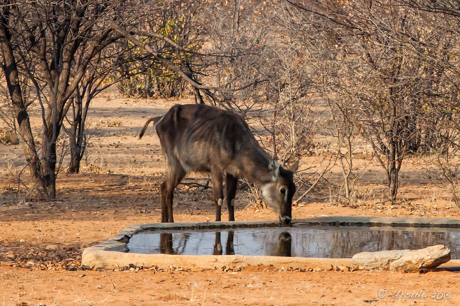 Waterbuck Kobus Ellipsiprymnus at a waterhole, Kamanjab, Namibia