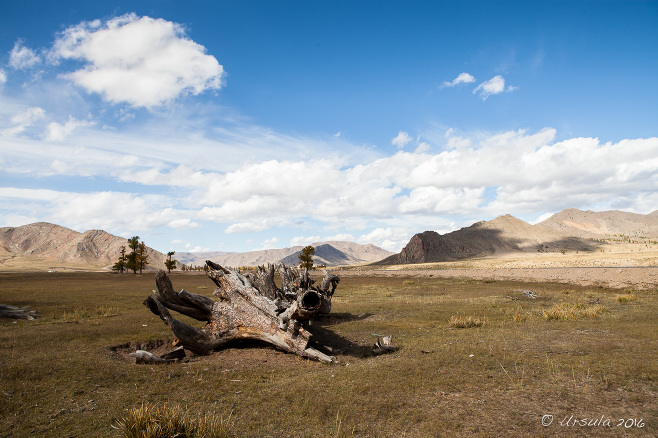 Dead larch tree trunk on an open grassland, mountains in the background, Zavkhan Mongolia