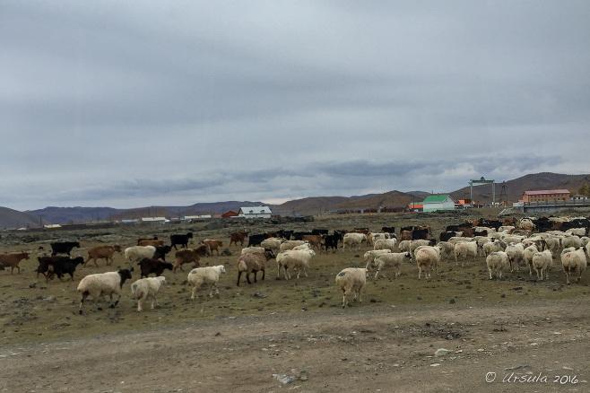 Cashmere Goats alongside a gravel road, Tariat, Arkhangai Province Mongolia