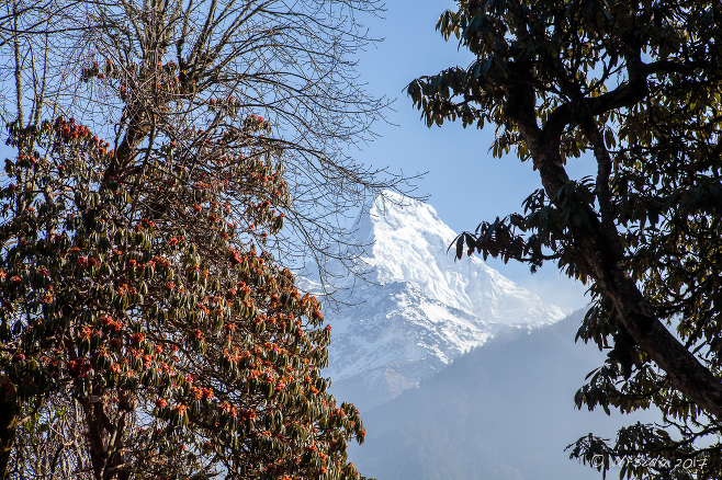 Fresh snow on Annapurna South through the fading rhododenron flowers on the track out of Ghorapani, Nepal