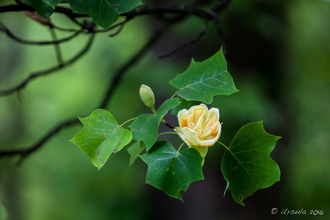 Tulip Tree Flowers, Blue Ridge Parkway VA USA