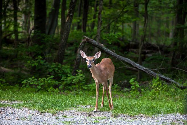 White Tailed Deer, Blue Ridge Parkway, VA USA